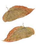 Two brown leaf Stock Photos