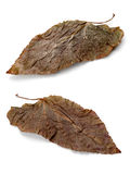 Two brown leaf Stock Photography