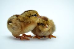 Two brown little chickens isolated on the white. Background small yellow cute baby animal bird fluffy life newborn pet soft studio young closeup color creature stock images