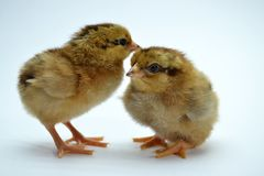 Two brown little chickens isolated on the white. Background small yellow cute baby animal bird fluffy life newborn pet soft studio young closeup color creature royalty free stock photography