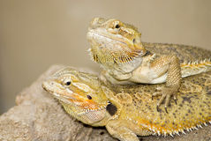 Two Brown lizzards Stock Images