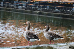 Two brown mallards near water. Back view of two wild brown ducks at waterfront Royalty Free Stock Photos