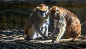 Two brown monkeys grooming each other in the sun stock photos