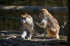 Two brown monkeys grooming each other in the sun royalty free stock photos