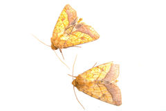 Two brown moths on a white background Royalty Free Stock Images