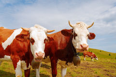 Two brown mountain cows with bells and horns. Stock Photo