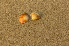 Two brown orange shells close up on blurred yellow sand royalty free stock photography