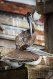 Two Brown Pelican Birds Royalty Free Stock Images