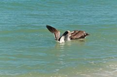 Two Brown pelican swimming and feeding stock image