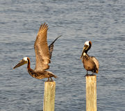 Two brown pelicans Royalty Free Stock Image