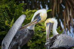 Two Brown Pelicans agains Palm Trees Royalty Free Stock Photos