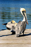 Two brown pelicans on dock. Two brown pelicans are at the end of a wooden dock with water in the background Royalty Free Stock Images