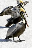 Two Brown Pelicans on the Sand Royalty Free Stock Image