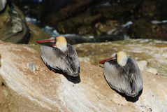 Two Brown Pelicans. Brown Pelicans sit on a cliff as if in formation Stock Photography