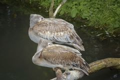 Two brown pelicans sleeping on the branches. Close up stock images