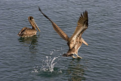 Two brown pelicans in the water. One swimming the other taking o Stock Photography
