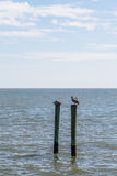 Two Brown Pelicans on Wood Posts in Ocean Stock Photography