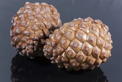 Two brown pine cone black glossy isolated. Two Brown pine cone black glossy Stock Images