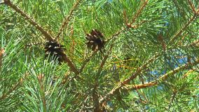 Two brown pine cones on a branch stock footage