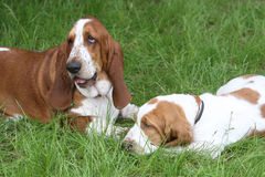 Two brown puppies Basset Hound Royalty Free Stock Photos