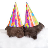 Two brown puppies in party hats. 3 weeks old labrador retriever puppies on white Stock Photo