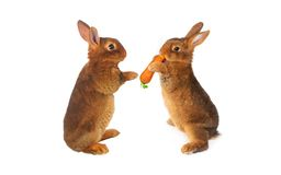 Two brown rabbit Royalty Free Stock Images