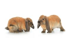 Two brown rabbit Royalty Free Stock Photo
