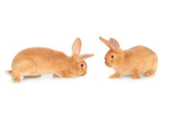 Two brown rabbit Stock Photography