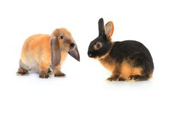 Two brown rabbit Royalty Free Stock Photography