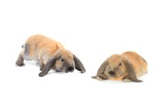Two brown rabbit Stock Photo