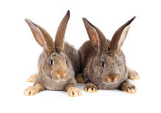 Two brown rabbits sitting Stock Photo