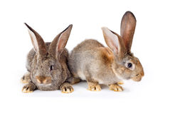 Two brown rabbits sitting Stock Images