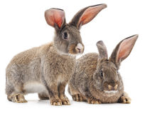 Two brown rabbits. Stock Photo