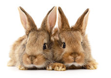 Two brown rabbits. Royalty Free Stock Photos