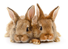 Two brown rabbits. Stock Image