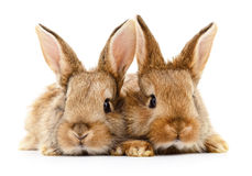 Two brown rabbits. Two brown rabbits on white background Stock Photography