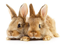 Two brown rabbits. Royalty Free Stock Image