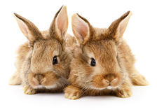 Two brown rabbits. Two brown rabbits  on white background Royalty Free Stock Images