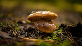 Two brown round fungus on mossy forest ground. Text, body, copy space royalty free stock photo