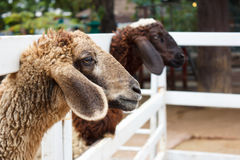 Two brown sheep Stock Photo