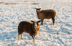 Two brown sheep in winter coat standing in the snow. Two brown sheep curiously looking at the photographer while standing in a snowy meadow on a bright and sunny Stock Photo
