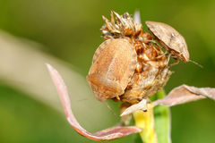 Two brown shied bugs Royalty Free Stock Images