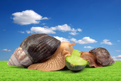 Two brown snails Royalty Free Stock Images