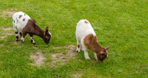 Two brown spotted baby goats graze in the meadow Stock Images