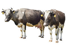 Two brown spotted cow isolated on a white Royalty Free Stock Photos