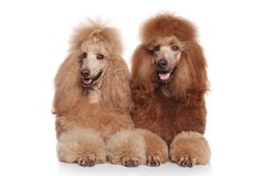 Two brown Standard Poodles Stock Images