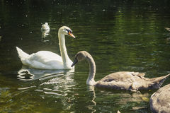 Two brown swans drinking water from a pond. Couple of brown swans enjoying summer swim in the pond of Dublin park and drinking water to refresh Royalty Free Stock Photography