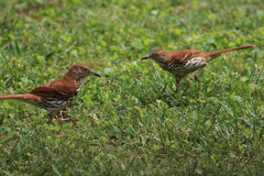Two Brown Thrashers In Grass Royalty Free Stock Image