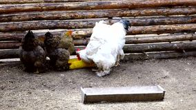 Two brown and two white chicken rooster pecking grain from the trough. Evening spring day on the farm stock video