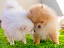 Two Pumeranian dogs playing at home. Two Brown and white cute Pumeranian dogs playing at home together royalty free stock image